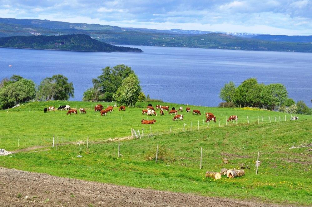 kyr på beite. Utsikt mot Hestøya i vest